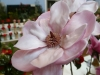 West Cornwall Spring Show - a beautiful magnolia from Trengwainton Gardens. Elizabeth Bolitho of Trengwainton will be president of the show next year - the show\'s 80th.