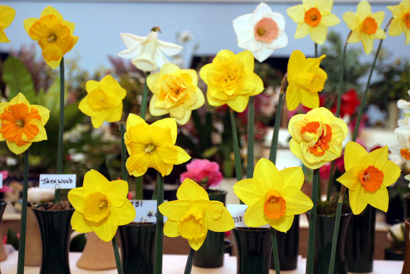 The 84th West Cornwall Spring Show organised by The West Cornwall Horticultural Society in St JohnÕs Hall Penzance. A fine display of daffodils. Pic by Roger Pope/CIOSP